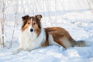 Dog-in-Winter-300px