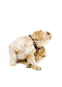 Does Your Dog Need a Hypoallergenic Diet?